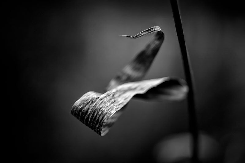 Black and white fine art photograph of a curled leaf, twisting gracefully around itself, only partially in focus in low winter light.
