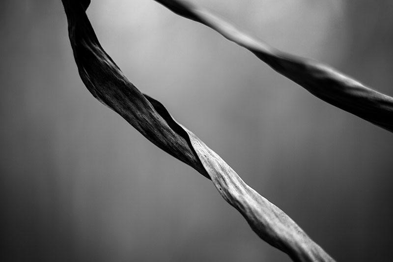 Black and white fine art photograph of two long, curved grasses in a simple, minimalist, almost abstract composition.