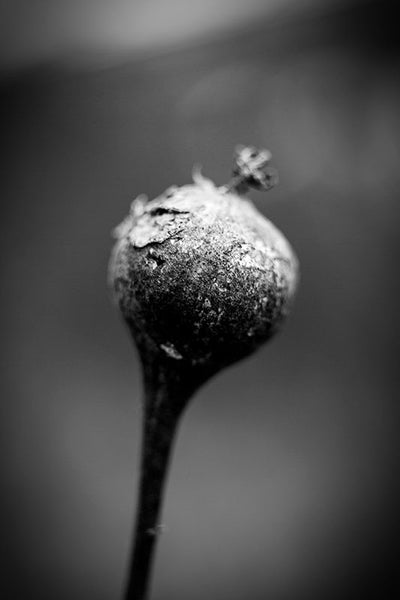 Black and white photograph of a round seed pod on a stem on a dark rainy winter day.