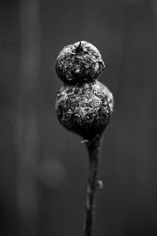 Black and white photograph of a seed pod on a stem in the dim light of a winter day.