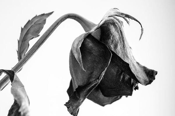Black and white photograph of a dying red rose, with its bloom hanging low.