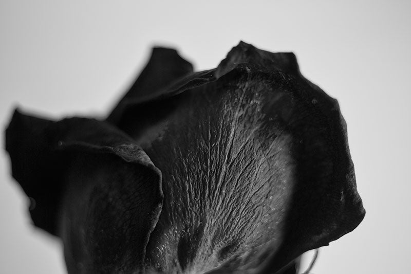 Black and white close-up detail photograph of the textures on the petals of a dying red rose blossom.