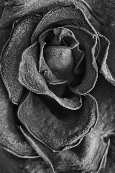 Black and white close-up detail photograph of the wrinkled and textured folds of a dying red rose blossom.