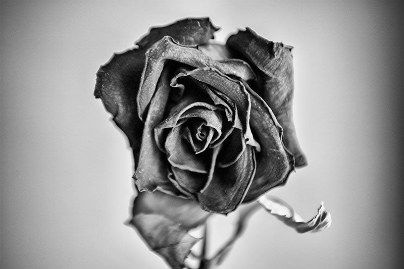 Black and white photograph of a textured bloom of a dying red rose, shot two weeks after Valentine's Day.