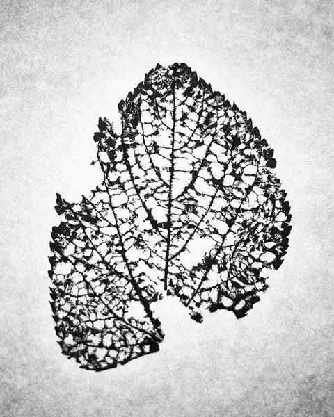 Black and white macro photograph of the beautifully intricate and fragile remains of a fallen leaf skeleton.