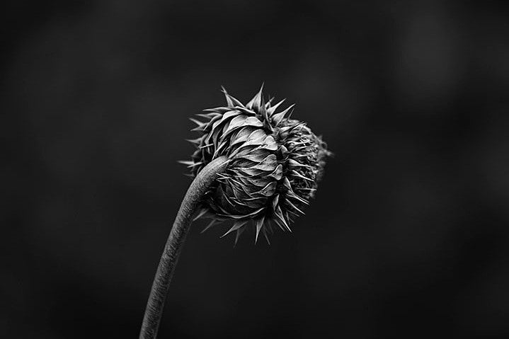 Dark, detailed black and white photograph of a thistle seen from the stem side.