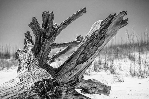 Black and white landscape photograph of a textured driftwood tree on a sunny beach with low dunes and grasses in the background.