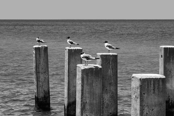 Black and white photograph of four sea gulls atop concrete pylons in the ocean.