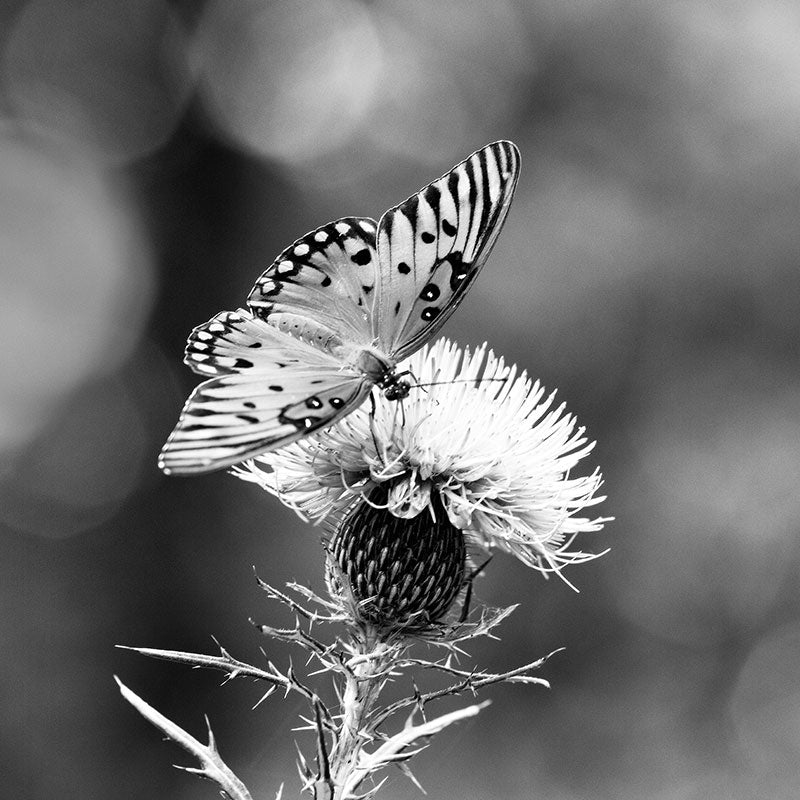 Black and white photograph of Gulf Fritillary butterfly dining on a purple thistle bloom.