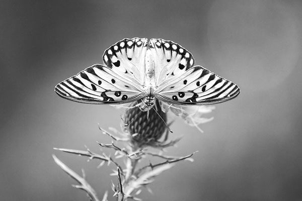 Black and white photograph of a Gulf Fritillary butterfly enjoying the nectar of a purple thistle flower.