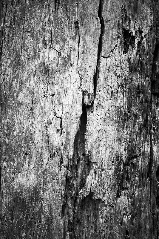 black and white photograph close up of a beautiful cracked dead tree in the forest