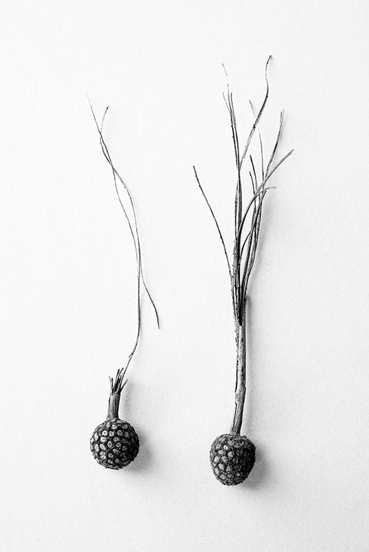 Black and white fine art photograph of two seed balls with long stems, side-by-side on a white surface.