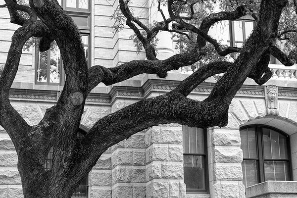 Black and white photograph of a big southern oak tree on the grounds of the Harris County Courthouse, in downtown Houston.