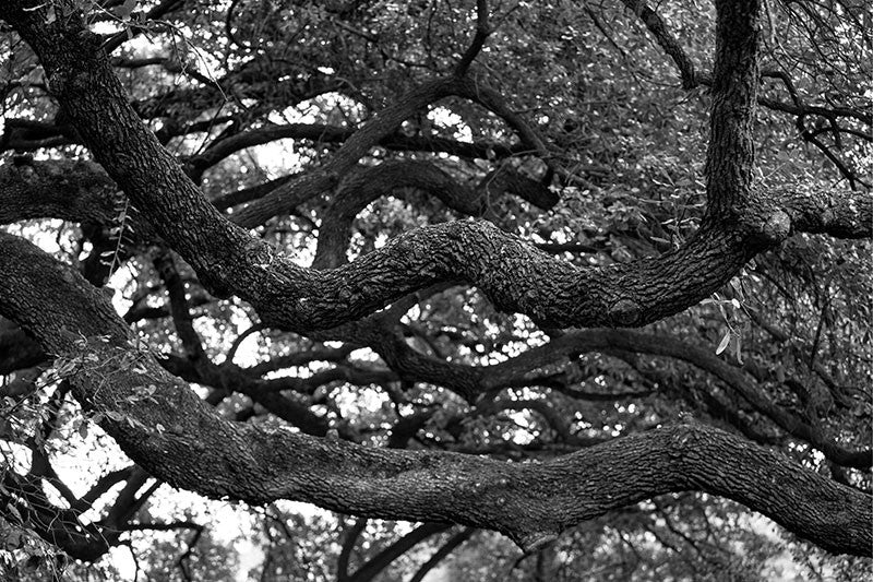 Black and white photograph of the branches of a big southern oak tree in Houston, Texas.