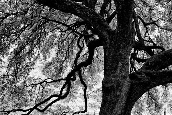 Branches of a Mighty Oak, Houston, Texas - Black and White Photograph (A0017839A)