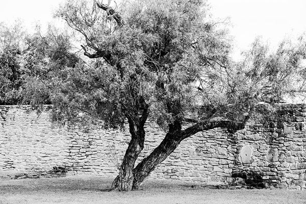 Black and white photograph of a big mesquite tree outside the perimeter wall of Mission San Jose in San Antonio.