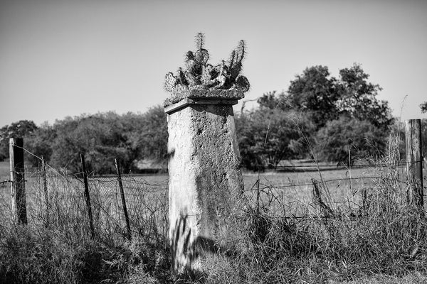 Black and white photograph of the Texas landscape near San Antonio, featuring an old fence post with a prickly pear cactus growing on top.