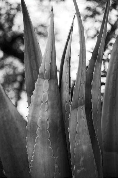 Black and white fine art photograph of the leaves of a big, beautiful yucca plant.