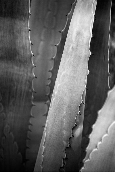 Black and white fine art photograph of a yucca plant.