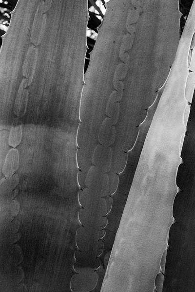 Black and white fine art photograph of a yucca plant displaying the clear impressions of the other leaves that were made before it unwrapped from itself.