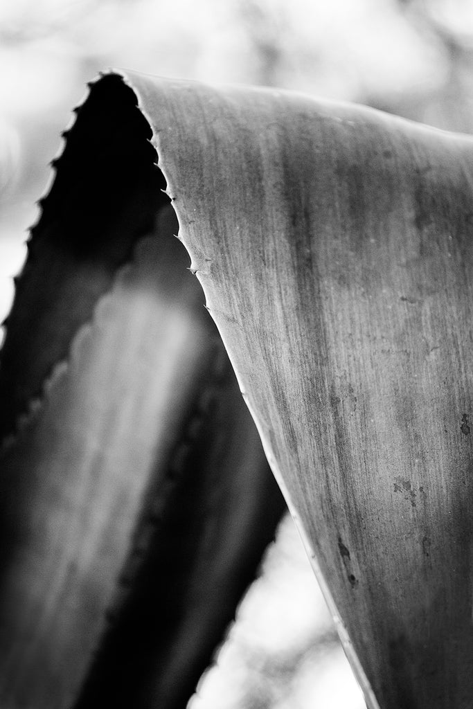 Black and white fine art photograph of a curved yucca leaf, creating an almost abstract composition.