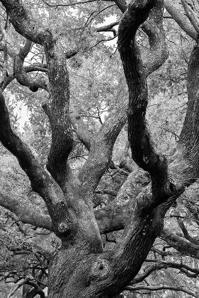 Black and white landscape photograph of the big, beautiful, old oak trees in White Point Park on the Battery at the tip of the peninsula in Charleston, South Carolina.