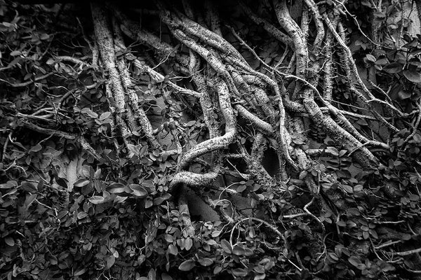 Black and white photograph of tangled foliage climbing the side of the Charleston Music Hall on John Street.