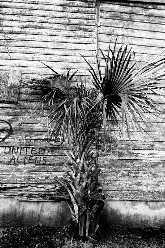 Black and white photograph of a palm tree growing behind a ramshackle old wooden boarding house in Charleston, South Carolina.