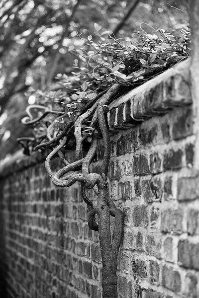 Black and white photograph an old brick boundary wall with clinging foliage in an alley of Charleston's romantic French Quarter.