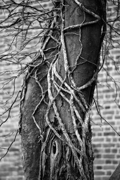 Black and white photograph of a twisted old tree wrapped in vines.