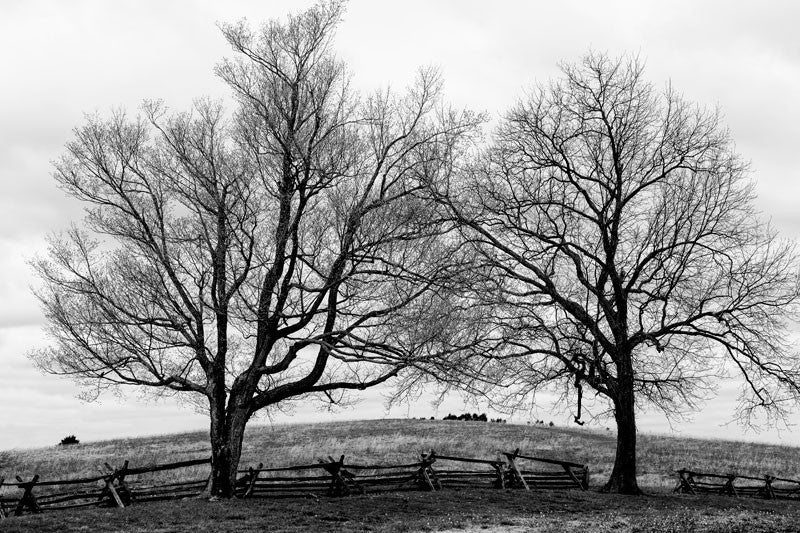 Black and white landscape photograph of two big, stark trees growing on the slope of a hill along the line of a split rail fence.