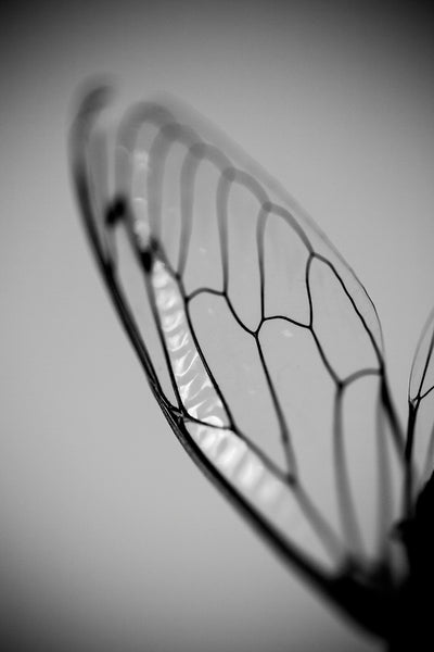 Cicada Wing: Black and White Photograph (A0020427)