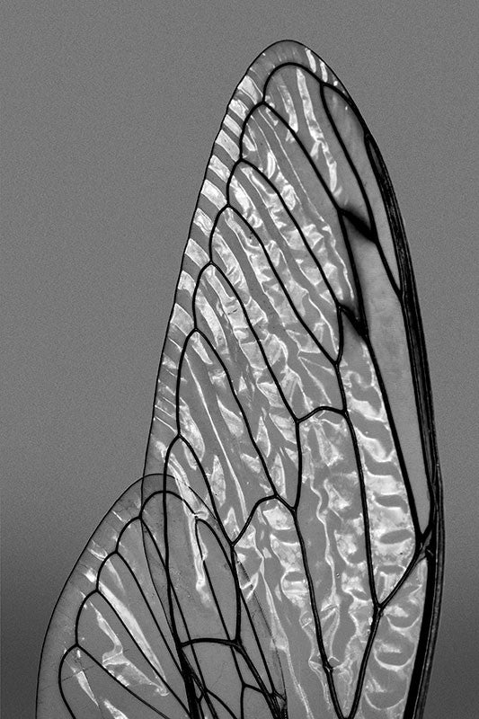 Black and white macro photograph of light shimmering on the facets of transparent, shiny cicada wings.
