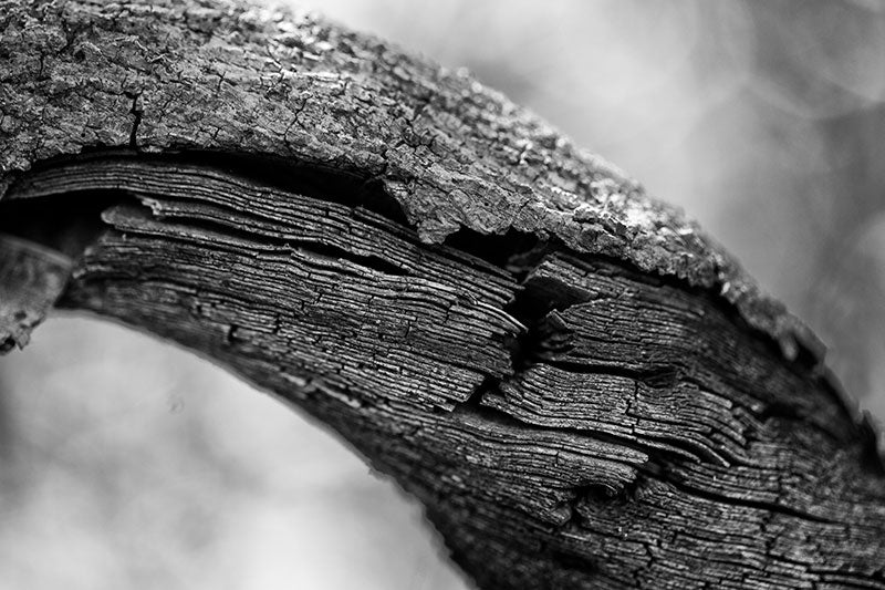 Black and white photograph of the linear texture of striations inside a very thick vine hanging from a big tree in the forest.