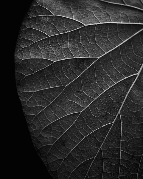 Black and white photograph of the detailed vein structure of a leaf in summer, dramatically cropped and subtly lighted to emphasize the lines.