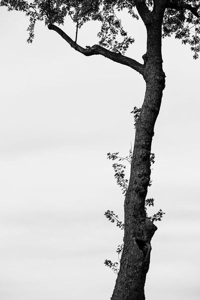 Black and white landscape photograph of a beautiful tall tree standing before a plain sky. Look closely and you can see the silhouette of a squirrel in the crook of the branch.