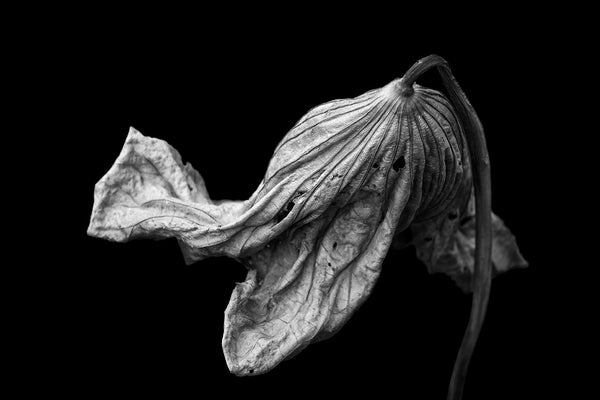 Black and white photograph of a large lotus plant leaf that has dried and twisted into a beautifully textured shape, still clinging to its stem. Photographed against a black background for dramatic effect.