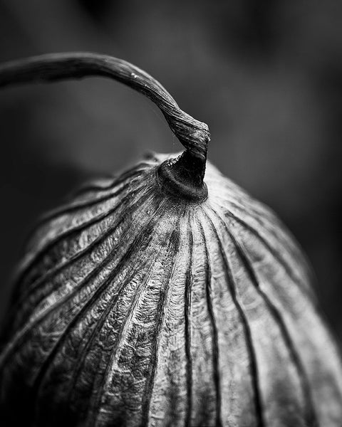 Black and white detail photograph of the beautifully textured stem and leaf of a dried American Lotus plant, photographed in the pond where it had grown.