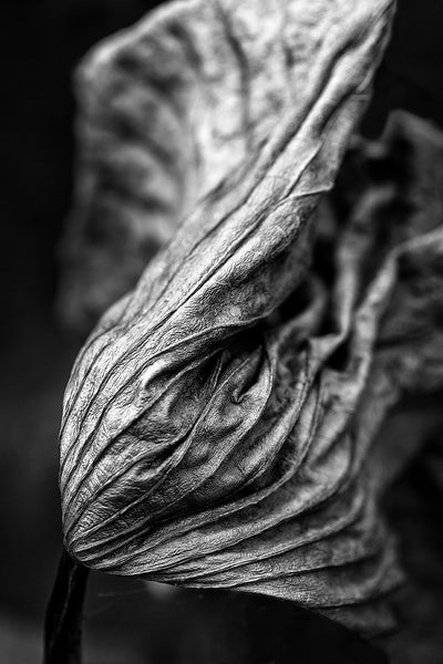 Black and white detail photograph of a beautifully twisted and textured American Lotus leaf, photographed in the pond where it thrived. Lotus leaves are like large elephant ears while alive; curling, twisting, and rolling-up into wonderfully expressive shapes after the plant dies.