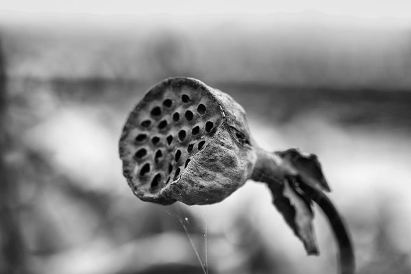 Black and white landscape photograph of an American lotus seed pod in a pond in late autumn, with spider webs clinging to its edge.
