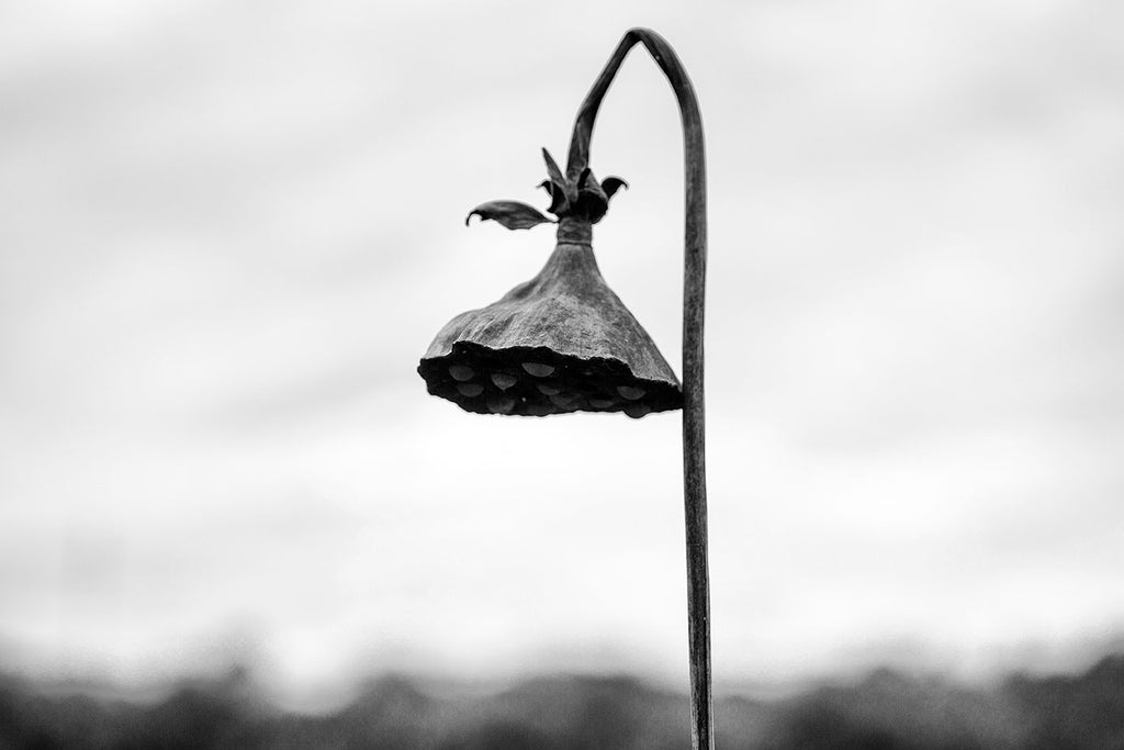Black and white landscape photograph of an American lotus seed pod dangling on a curved stem along the shore of the pond where it grew.