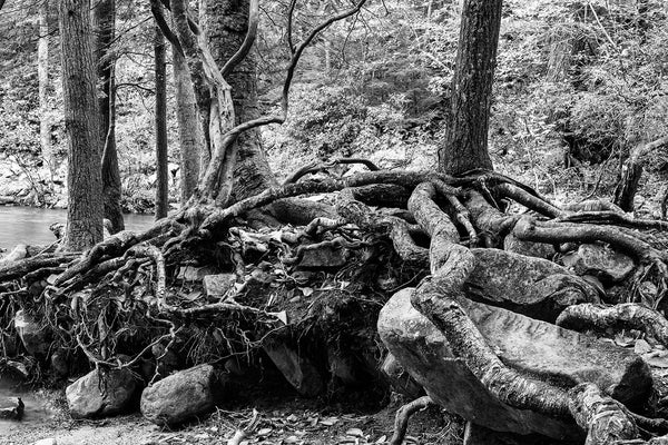 Black and white landscape photograph of tangled tree roots holding large rocks on the edge of a pond in the forest