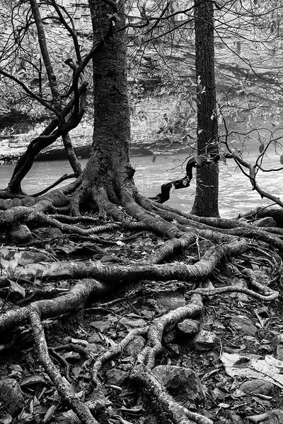Black and white landscape photograph of thick and tangled tree roots on the shore of a pond in the forest.