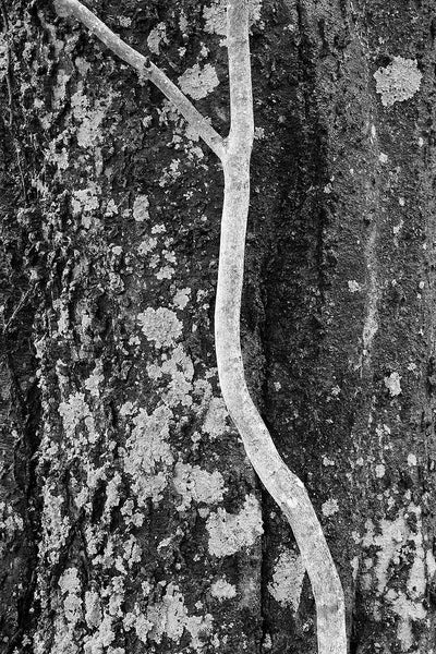 Black and white close-up photograph of a slender young sapling in front of the rough bark of an old tree.