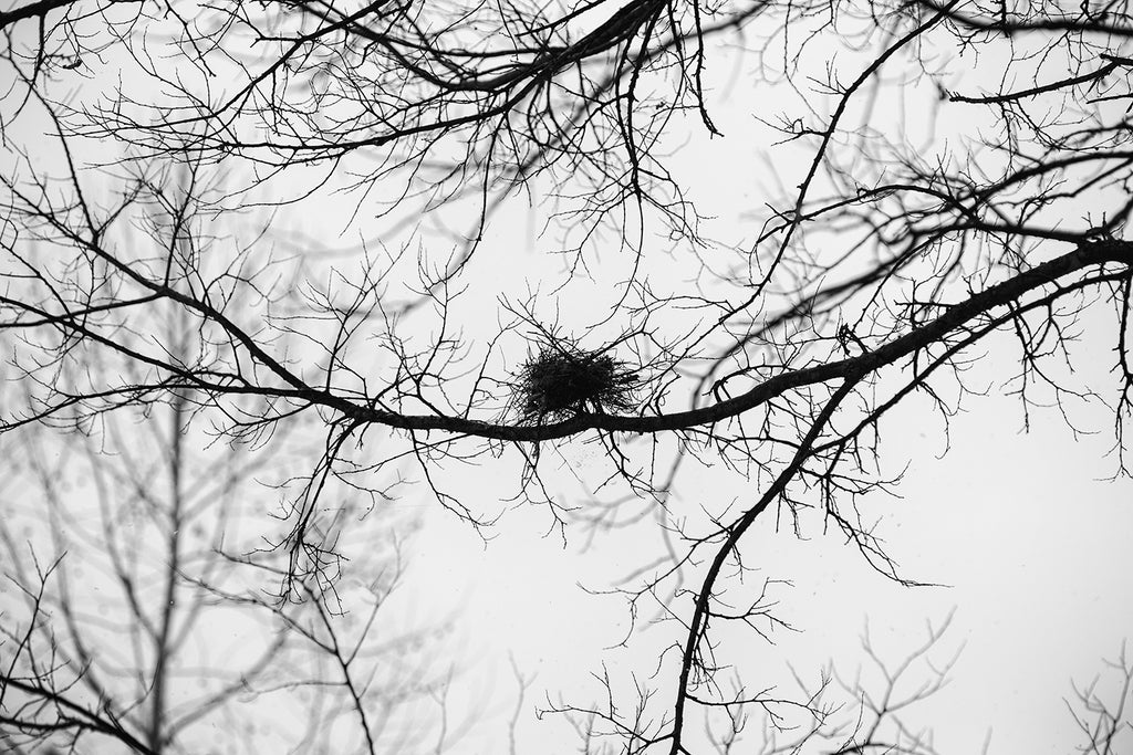 Bird's Nest Among Winter Tree Branches - Black and White Photograph (A0023675)