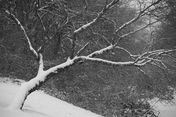 Black and white landscape photograph of a leaning tree covered in a blanket of snow, with snowflakes in the air.