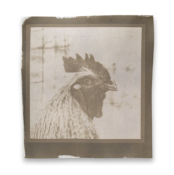 This is a unique, one-of-a-kind, handmade cyanotype photographic print of a bold farmyard rooster. The paper was hand-coated and sun-printed on high-quality Arches cold-press watercolor paper. It comes with extra margin and the brushed background exposed, just as shown, but this can easily be trimmed off, or covered with a top mat for framing.  Cyanotypes are normally blue, but this one has been chemically toned using a bath of strong black Maxwell House coffee, giving it a brownish tone.