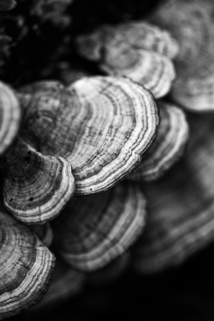 Black and white photograph of a cluster of tree fungus with stripe patterns.