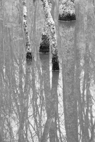 Black and white landscape photograph trees reflecting in the water of a swampy wetland.