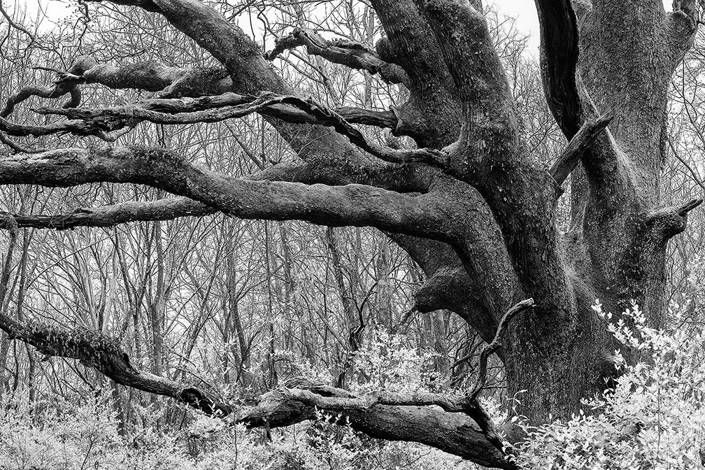 Black and white landscape photograph of a massive, black tree that dominates the surrounding woodlands.